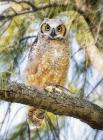 Great Horned Owl by Kris Bell
