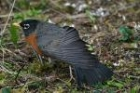 American Robin by Mick Dryden