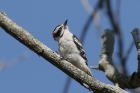 Downy Woodpecker by Mick Dryden