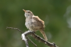 House Wren by Mick Dryden