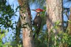 Pileated Woodpecker by Miranda Collett