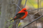 Scarlet Tanager by Mick Dryden