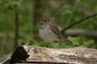 Swainson's Thrush by Mick Dryden