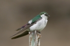 Violet-green Swallow by Mick Dryden