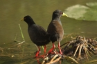 Black Crake by Mick Dryden