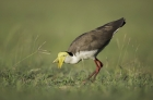 Masked Lapwing by Kris Bell