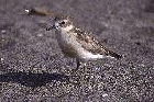 New Zealand Dotterel by Mick Dryden