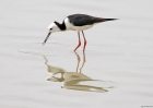 Pied Stilt by Tim Ransom