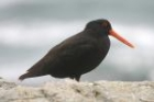 Variable Oystercatcher by Mick Dryden