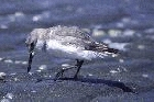 Wrybill by Mick Dryden