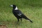 Australian Magpie by Mick Dryden