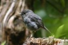 North Island Robin by Mick Dryden