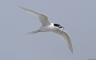 White-fronted Tern by Tim Ransom