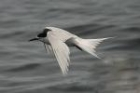 White fronted Tern by Mick Dryden