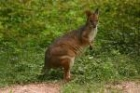 Red Pademelon by Mick Dryden