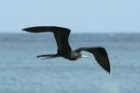 Magnificent Frigatebird by Mick Dryden