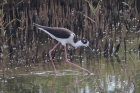 Black-necked Stilt by Mick Dryden