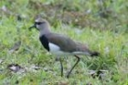 Southern Lapwing by Mick Dryden