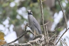 Yellow-crowned Night-Heron by Mick Dryden