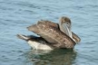 Brown Pelican by Mick Dryden