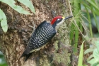 Black-cheeked Woodpecker by Mick Dryden
