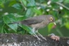 Bare-eyed Thrush by Mick Dryden