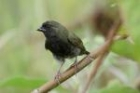 Black-faced Grassquit by Mick Dryden