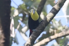 Black-mandibled Toucan by Mick Dryden