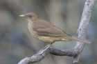 Clay-colored Thrush by Mick Dryden