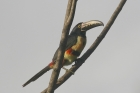 Collared Aracari by Mick Dryden
