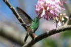 Copper-rumped Hummingbird by Mick Dryden