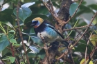 Golden-hooded Tanager by Mick Dryden