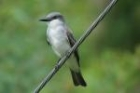 Gray Kingbird by Mick Dryden