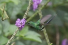 Green Thorntail by Mick Dryden