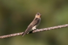 Southern Rough-wing Swallow by Mick Dryden
