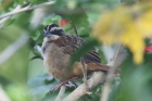 Stripe-headed Sparrow by Mick Dryden