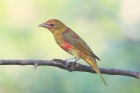 Summer Tanager by Mick Dryden