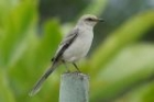 Tropical Mockingbird by Mick Dryden