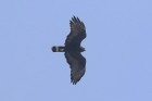 Common Black-Hawk by Mick Dryden