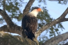 Crested Caracara by Mick Dryden