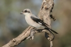 Lesser Grey Shrike by Mick Dryden
