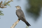 African Cuckoo by Mick Dryden