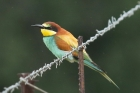 European Bee-eater by Mick Dryden