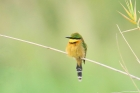 Little Bee Eater by Mick Dryden