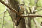 Red-chested Cuckoo by Mick Dryden