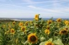 Sunflowers above St Ouen's Bay by Mick Dryden