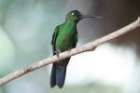 Green-crowned Brilliant by Mick Dryden