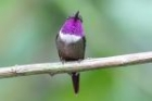 Purple-throated Woodstar by Mick Dryden