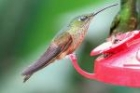 Rufous-tailed Hummingbird by Mick Dryden