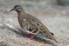 Galpagos Dove by Mick Dryden